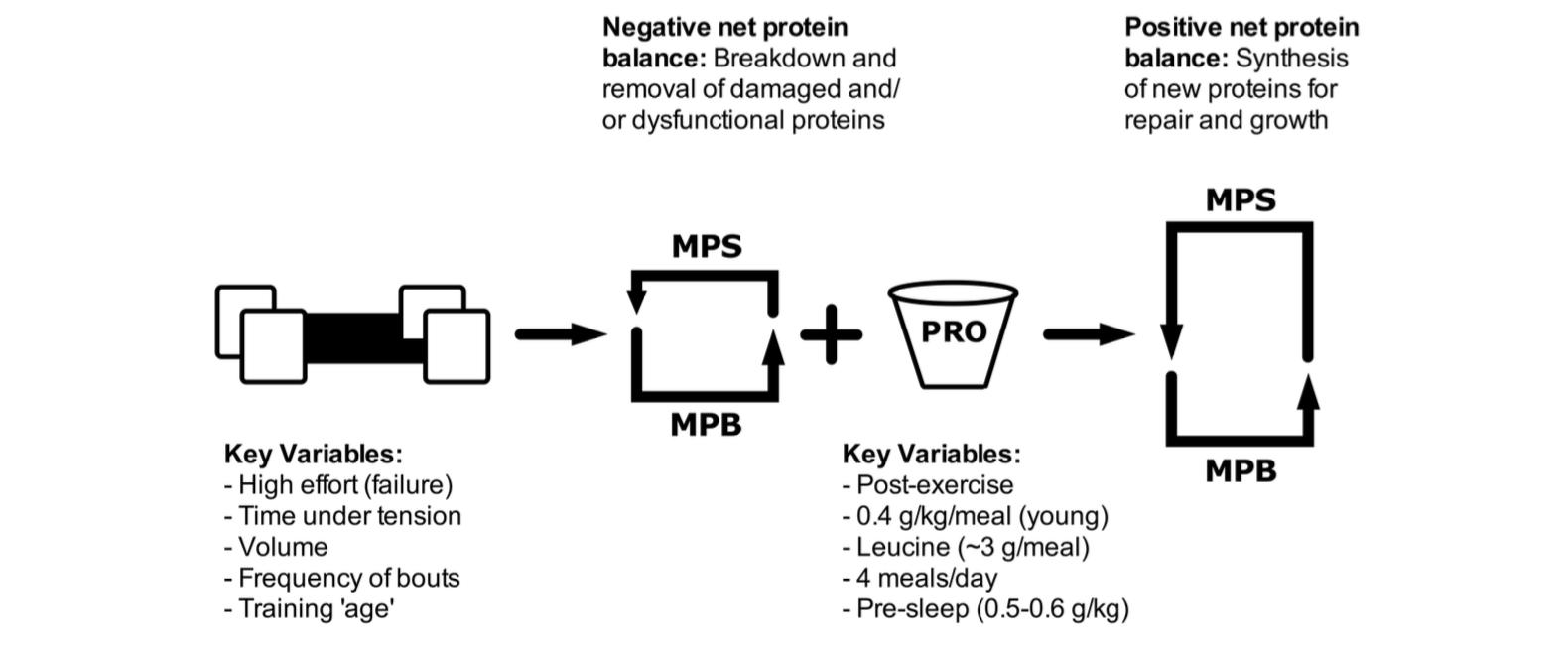 fissac_esquema entrenamiento de fuerza y proteínas
