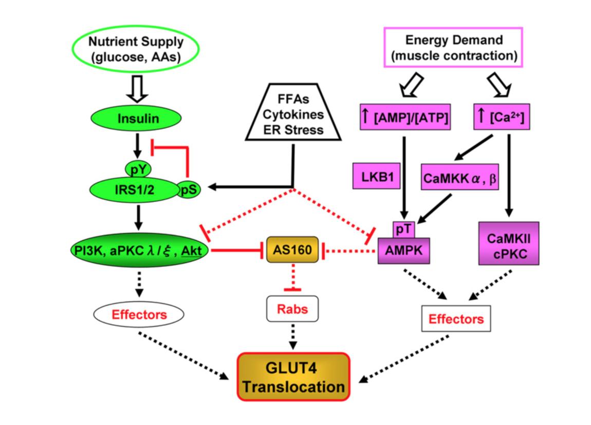 fissac _ glut-4_insulina_ejercicio_vías de señalización