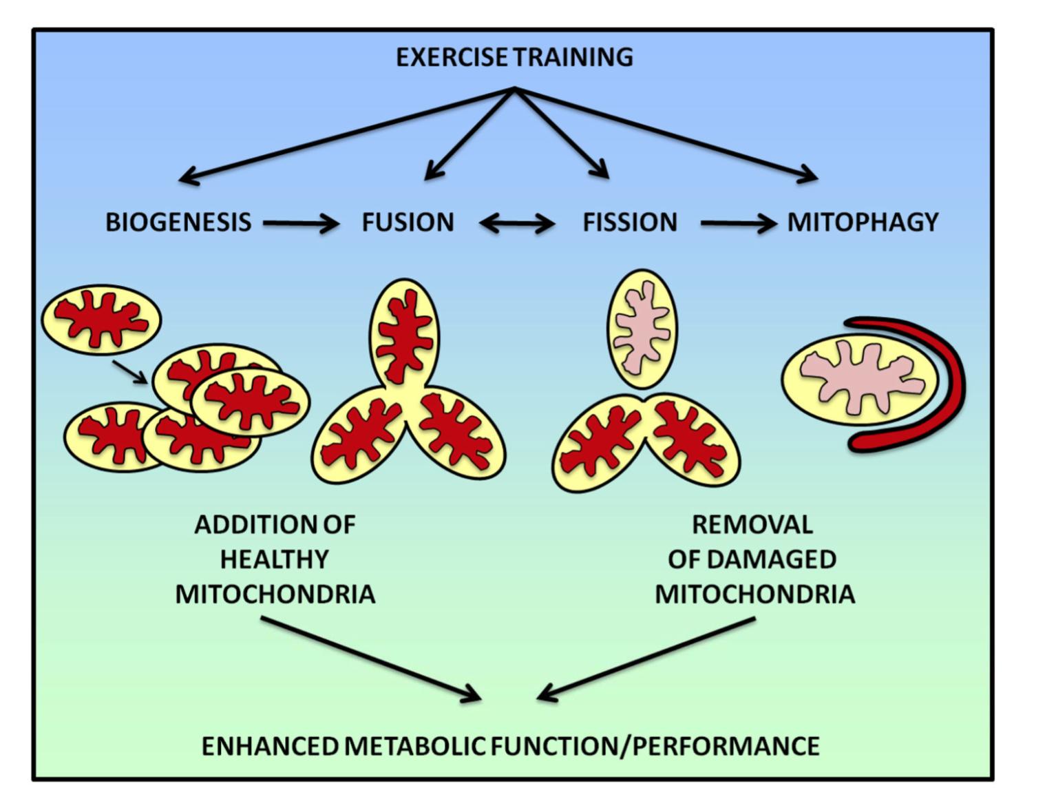 fissac _ ejercicio salud mitocondrial biogénesis