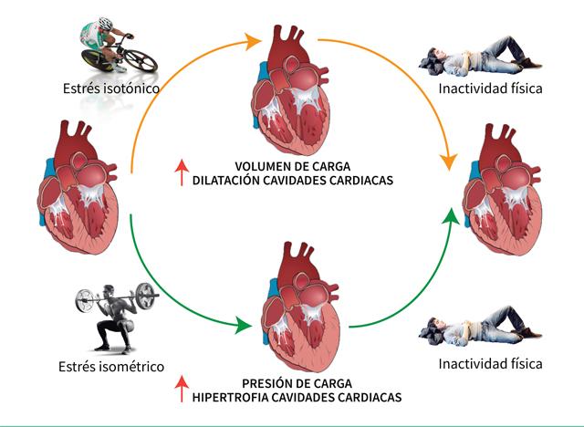 Hipertensión remodelación del corazón